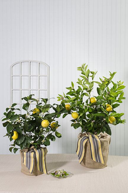 lemon-tree-pet-lrg.jpg